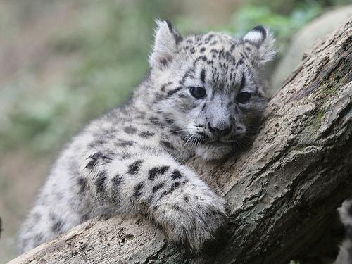 Filhote de snow leopard