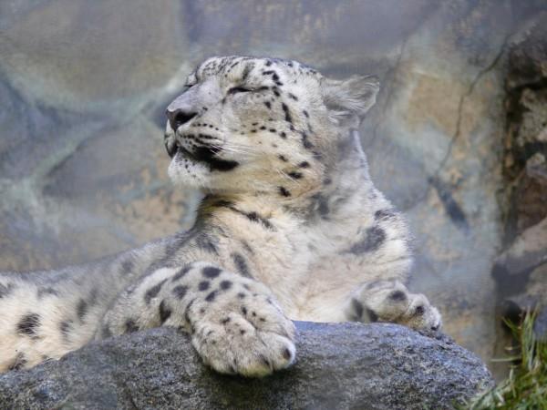 Snow Leopard boçal