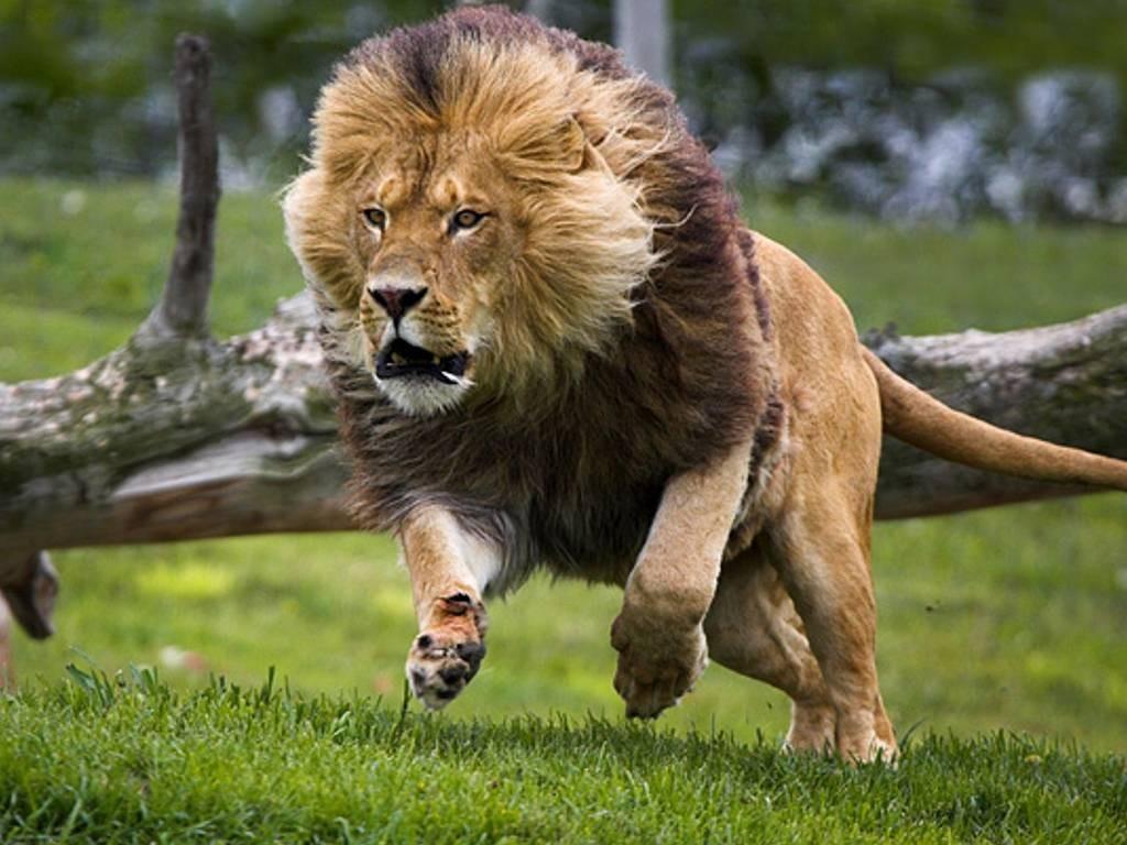 Leão correndo