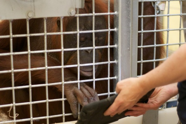 Orangotango usando um iPad - Apps for Apes