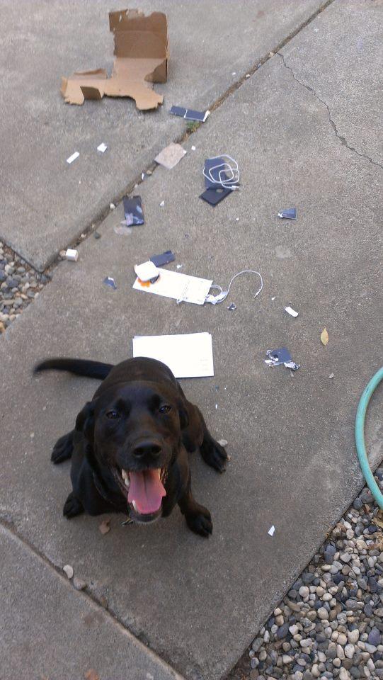 Cachorro e caixa do iPhone 5 destruída