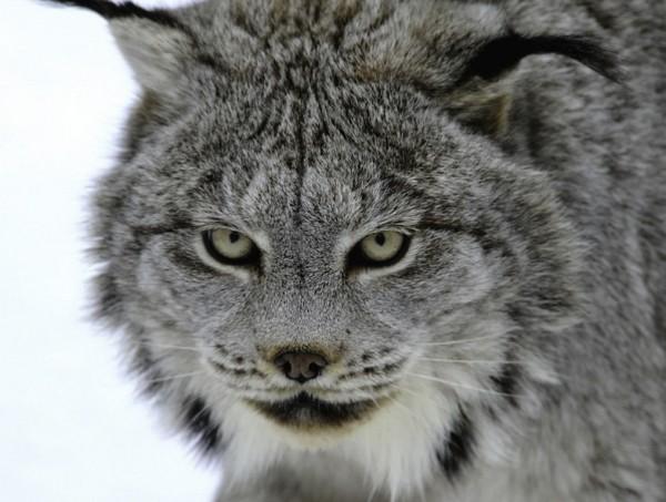 Lynx (Lince)