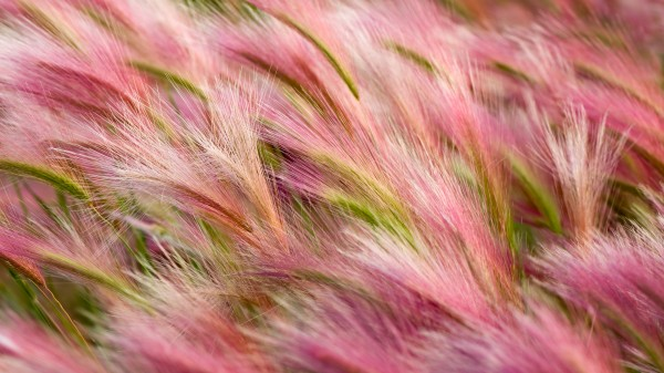 Wallpaper OS X Mavericks - Foxtail Barley