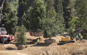 Árvores que estão sendo plantadas no Apple Campus 2