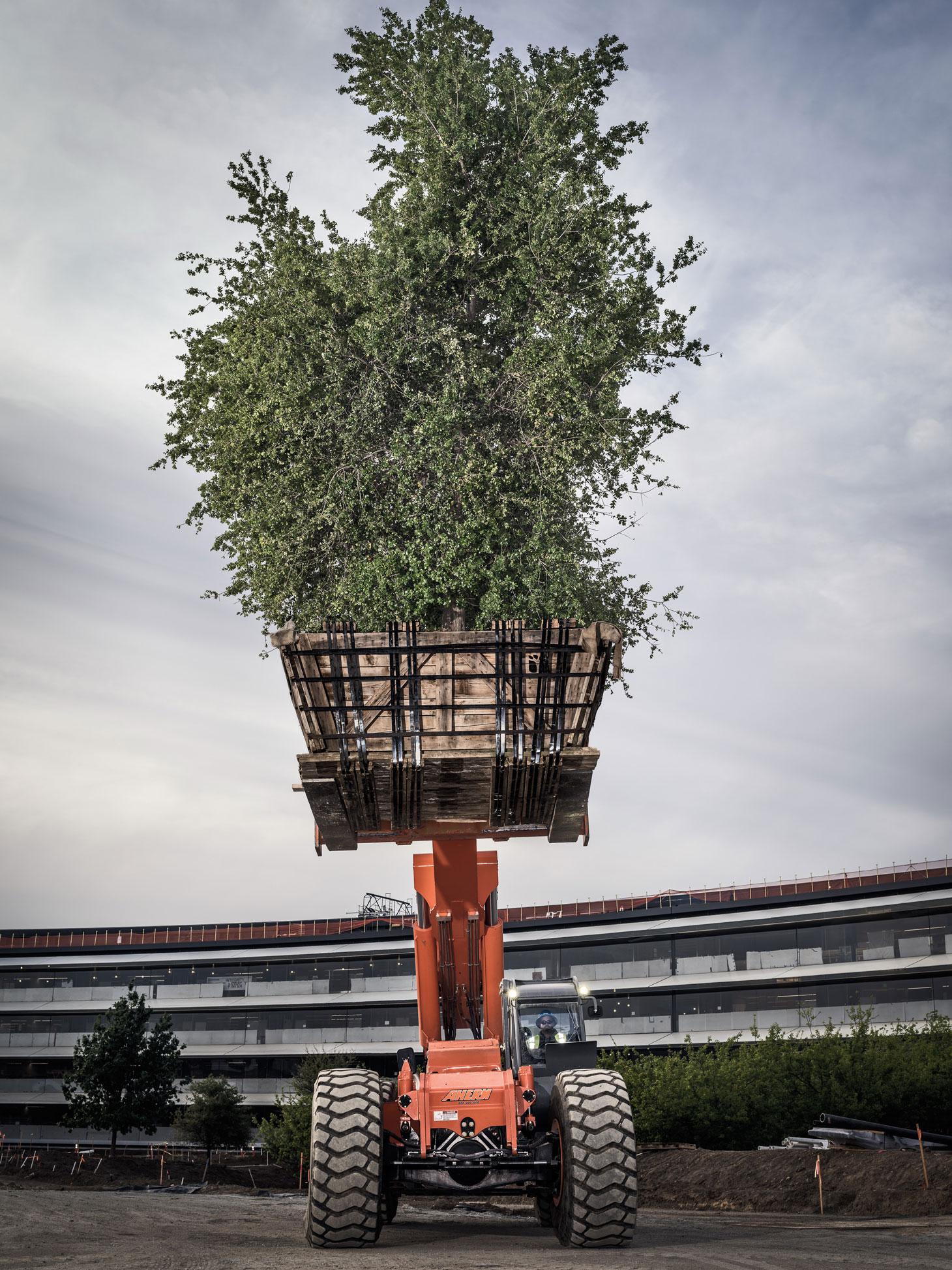 Uma das muitas árvores que estão sendo plantadas no Apple Park