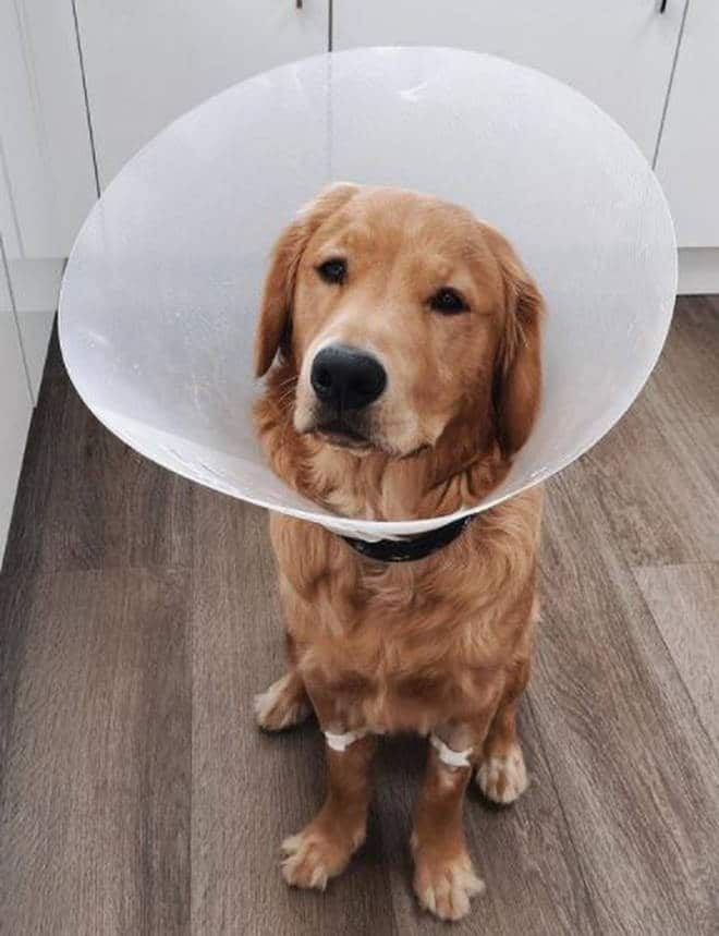 Jimmy, cachorro que engoliu AirPods