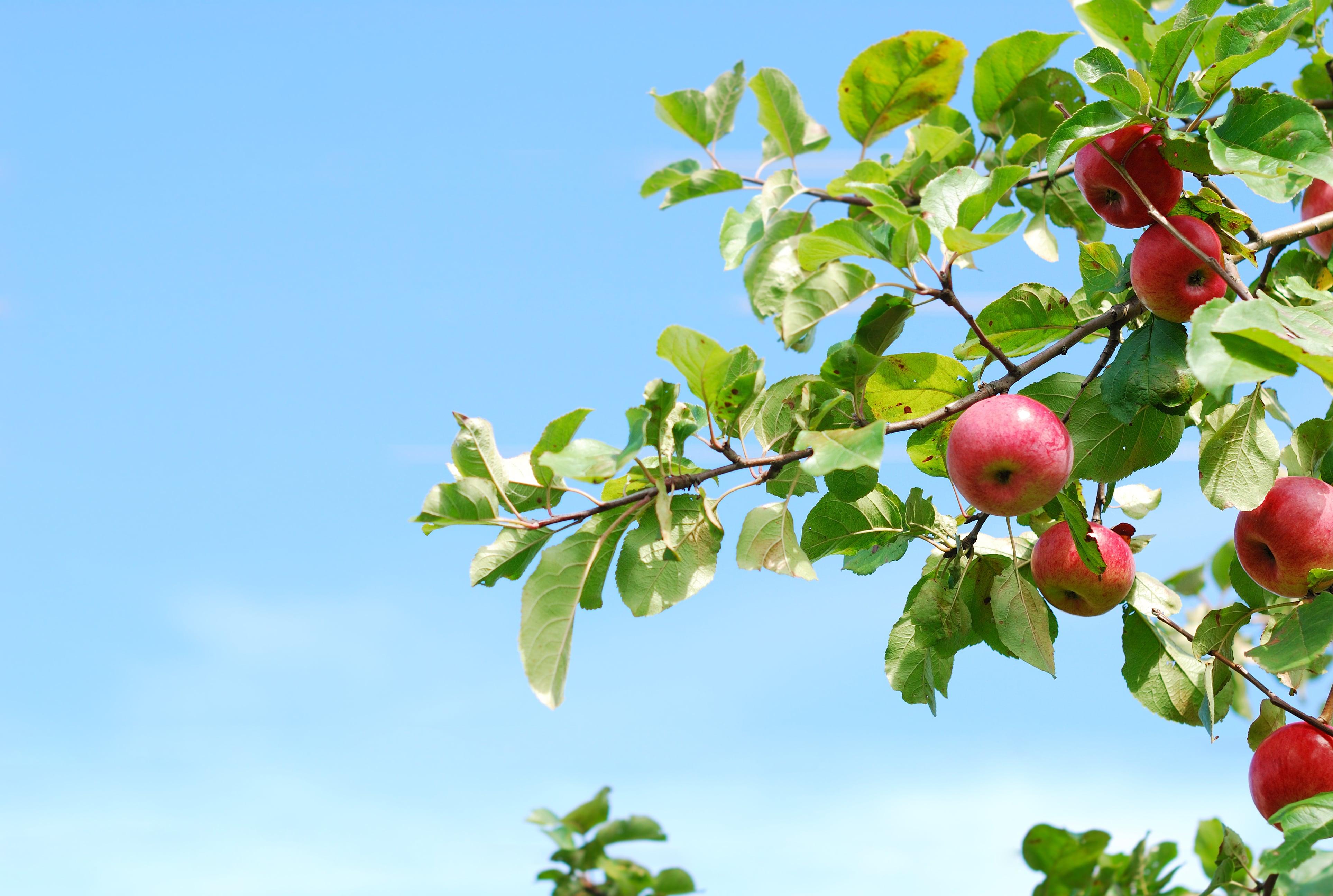 Árvore com maçãs